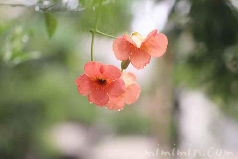 ノウゼンカズラの写真 花言葉