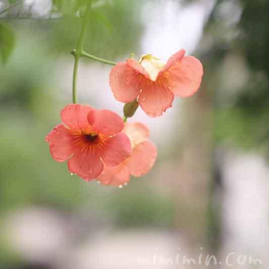 ノウゼンカズラの花の写真  花言葉 誕生花の画像