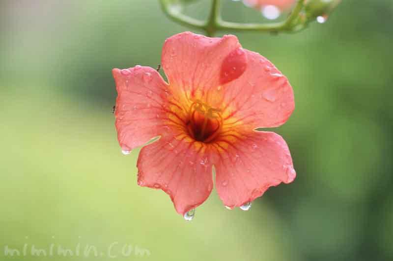 ノウゼンカズラの写真と花言葉の画像
