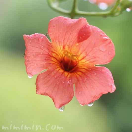 凌霄花の花の写真と花言葉