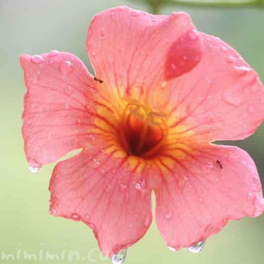 凌霄花の花の写真  花言葉の画像