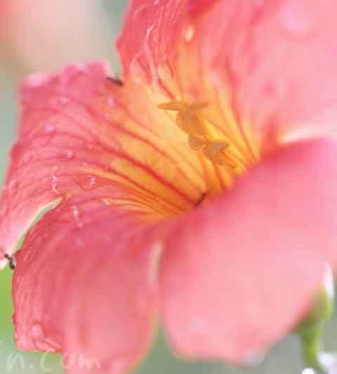ノウゼンカズラの花の写真&花言葉