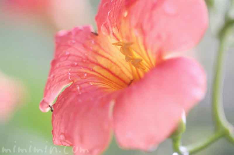 ノウゼンカズラの花の写真と花言葉の画像