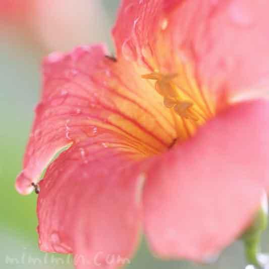 凌霄花の写真と花言葉
