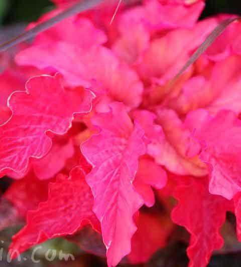 ハゲイトウ(葉鶏頭)の花の写真・花言葉・名前の由来