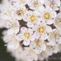 ピラカンサの花の画像