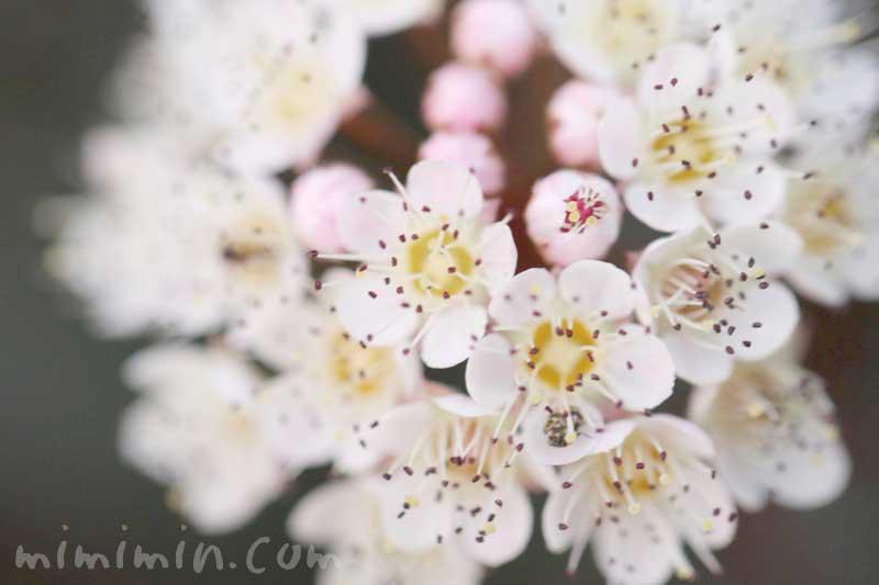 トキワサンザシの花の画像