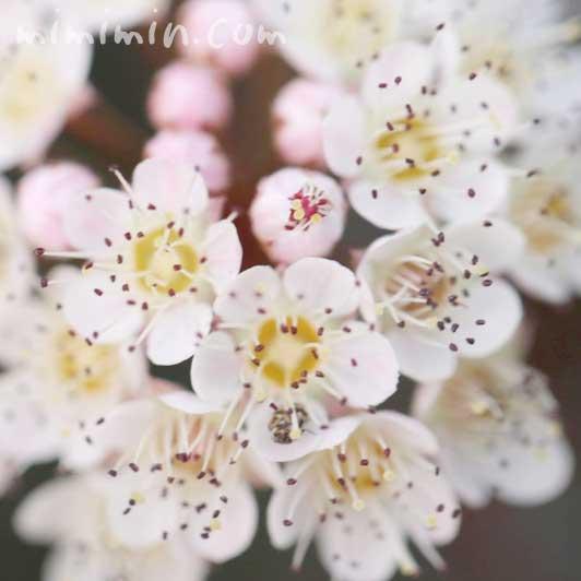 ピラカンサの花の写真と花言葉