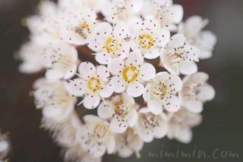 ピラカンサの花の写真と花言葉の画像
