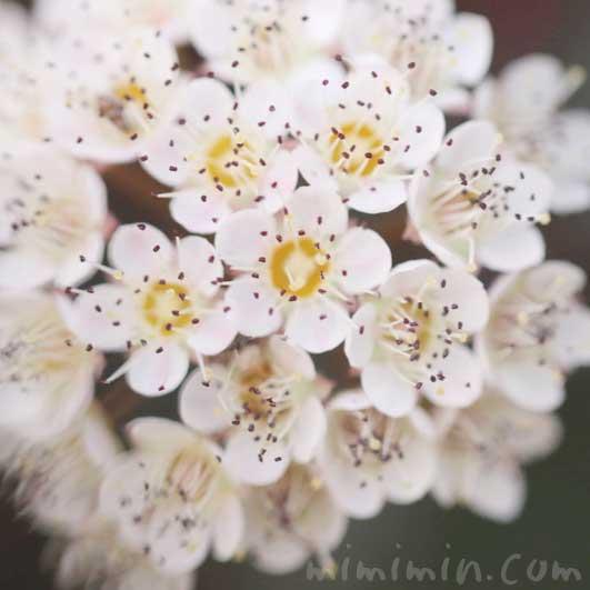 常磐山査子の花の画像