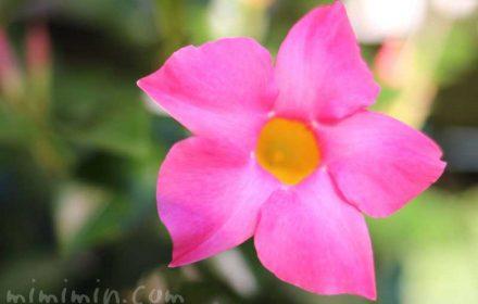 サンパラソルの花の写真
