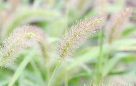 エノコログサの写真と花言葉
