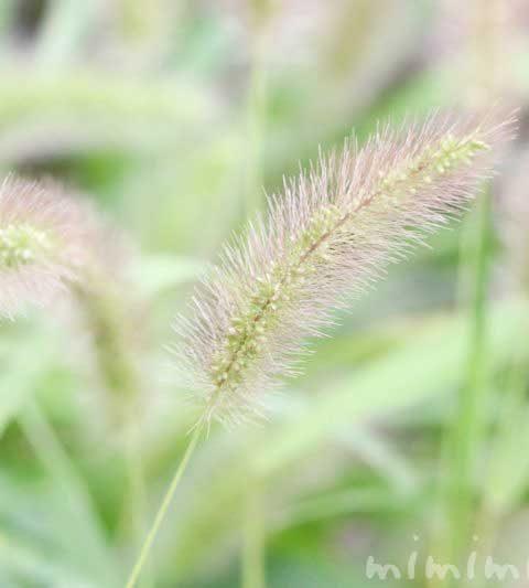 エノコログサ(ネコジャラシ)の花言葉・花の写真