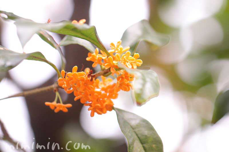 モクセイカの花