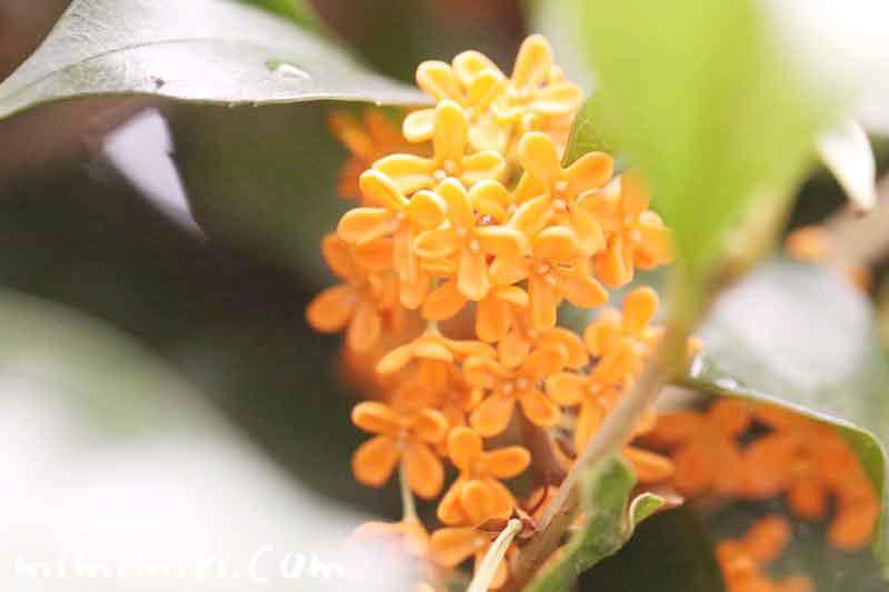 モクセイカの花の画像