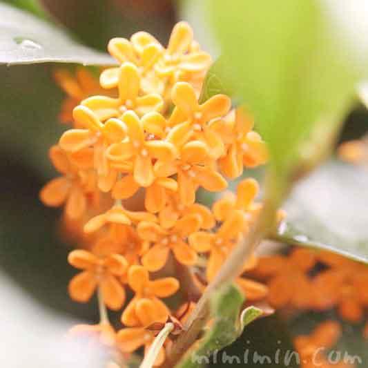 金木犀の花言葉の写真