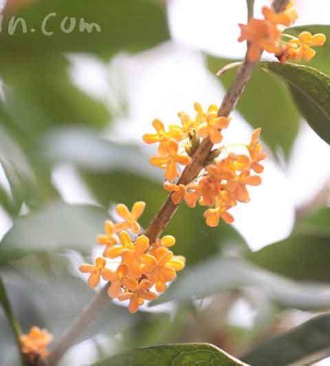 キンモクセイ(金木犀)の花言葉・キンモクセイの香りの効能