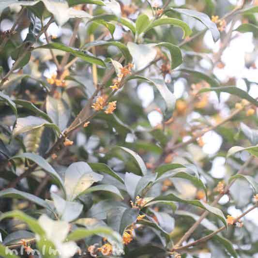 金木犀の香りの効能