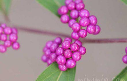 紫色の実(小紫・紫式部)