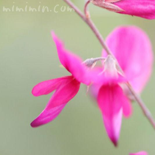 ハギの花の写真