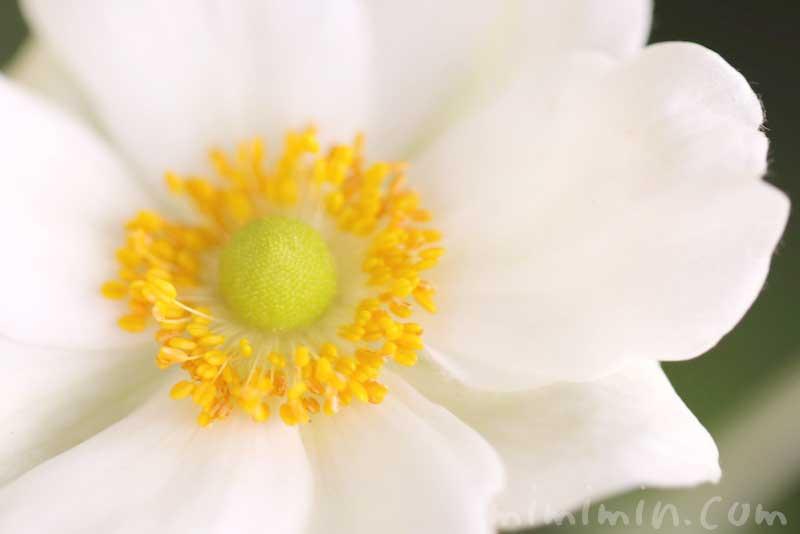 シュウメイギク(白)の写真・花言葉の画像