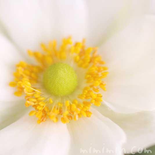 秋明菊(白色)の花の写真・花言葉の画像