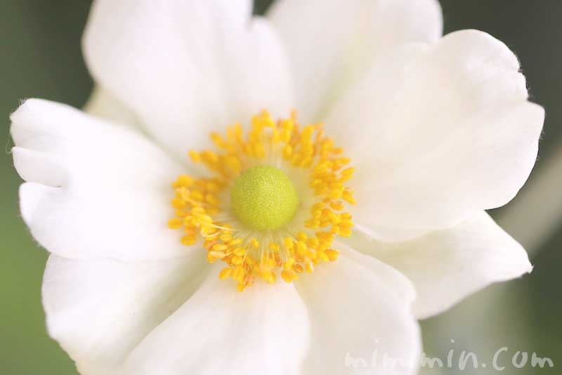 シュウメイギクの写真と花言葉