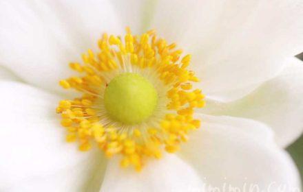 シュウメイギクの花の写真と花言葉