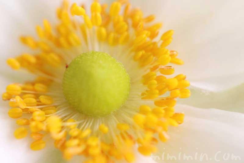 シュウメイギクの花の写真・花言葉の画像
