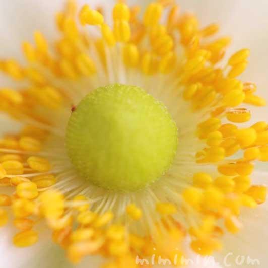 シュウメイギク(白)の写真と花言葉