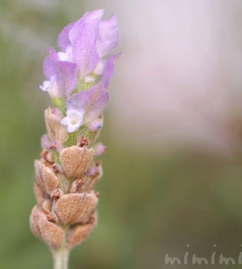 ラベンダー・デンタータの花の写真|ラベンダーの花言葉