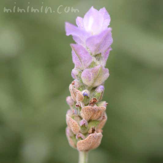 フリンジドラベンダーの花の写真