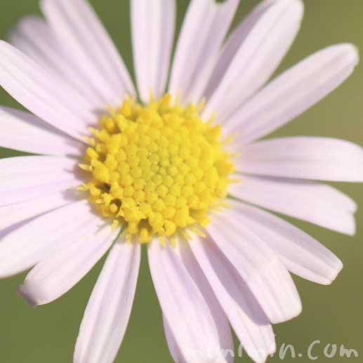 ヒメジョオンの花(ピンク)の写真