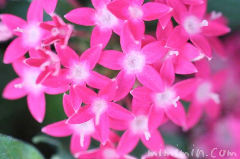 ペンタス(ピンク色)の花の写真&花言葉の画像