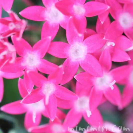ペンタス(ピンク色)の写真&花言葉の画像