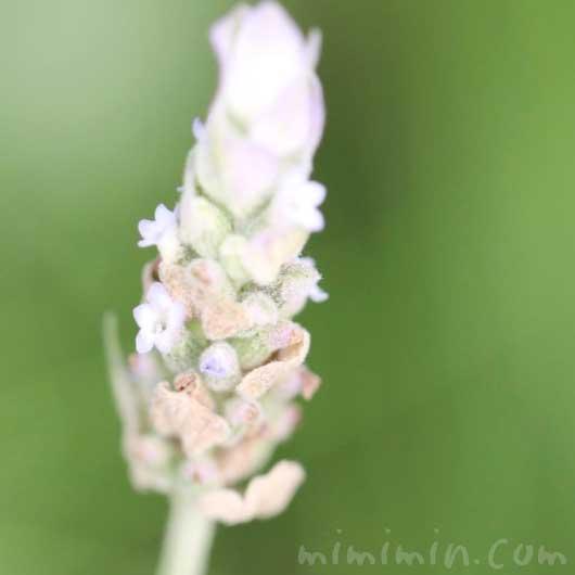 ラベンダー・デンタータの花の写真・花言葉の画像