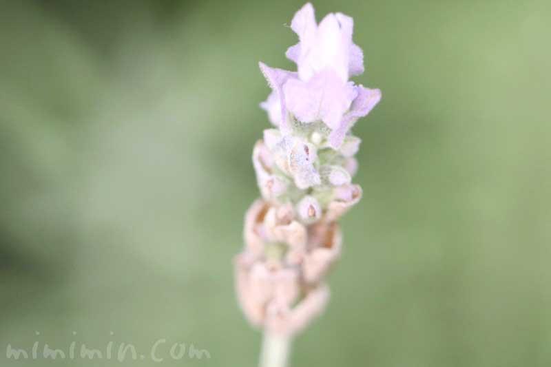 ラベンダー・デンタータの花の写真と花言葉