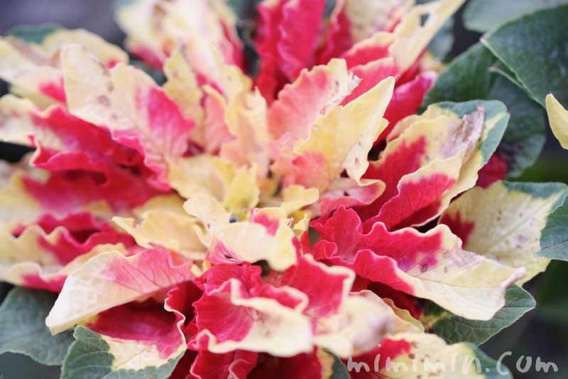 ハゲイトウの写真と花言葉
