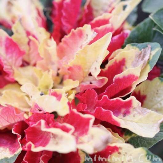 葉鶏頭の写真・花言葉の画像
