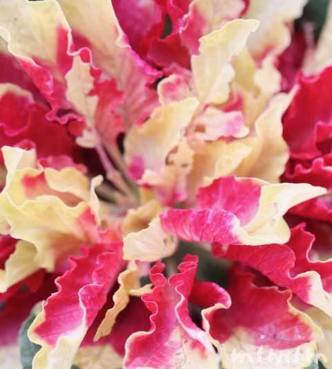 ハゲイトウ(葉鶏頭)の写真・花言葉・名前の由来