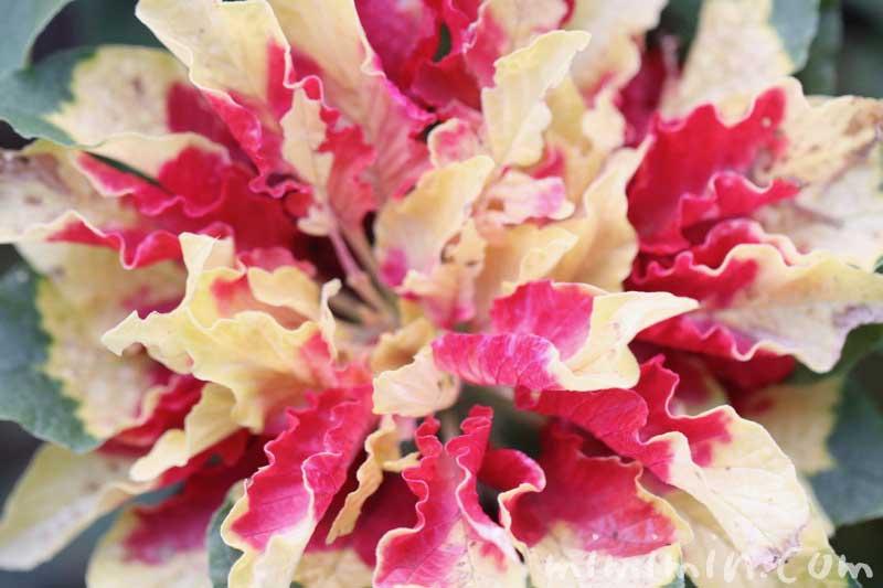 ハゲイトウの写真・花言葉の画像