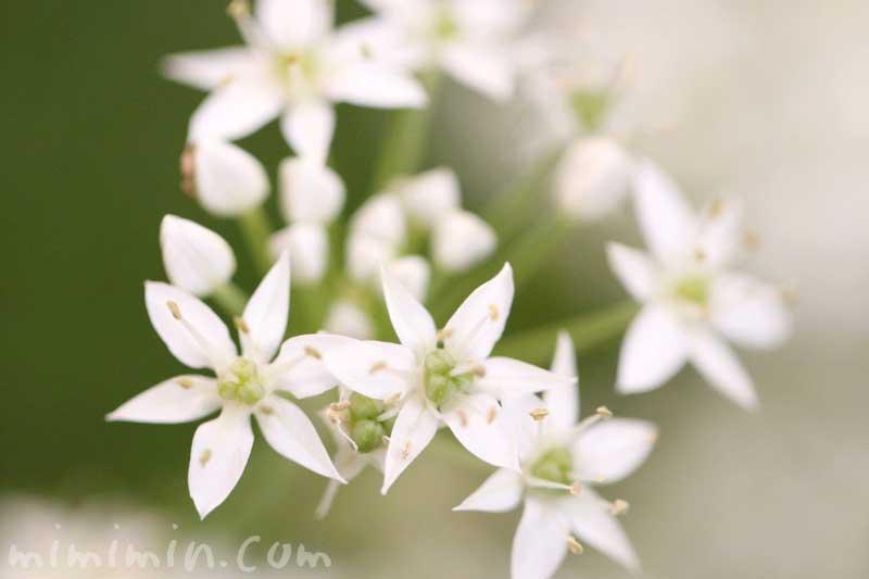 ニラ写真・花言葉の画像
