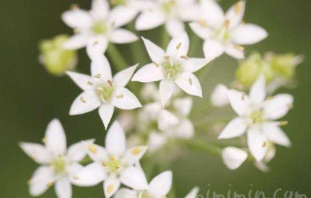 ニラの花の写真と花言葉
