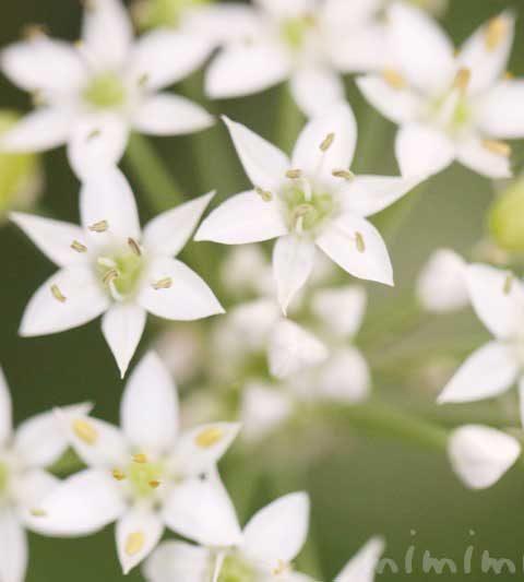 ニラ(韮)の花の写真・花言葉・名前の由来