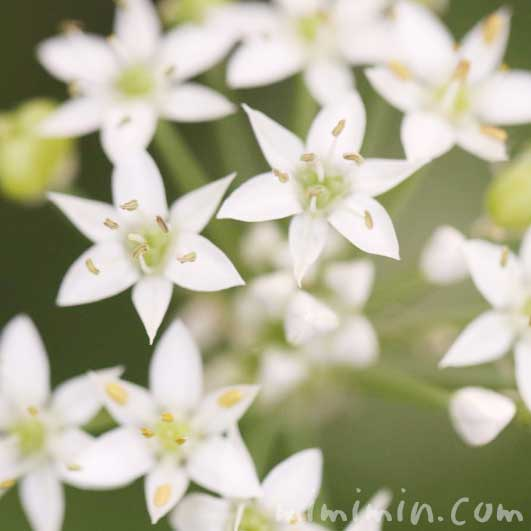 韮の写真・花言葉の画像