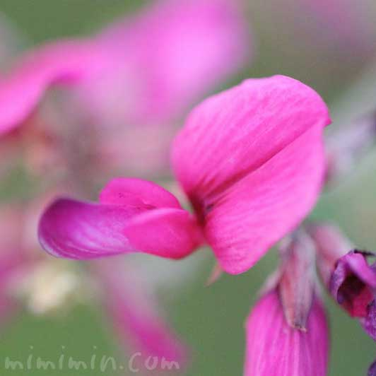 萩の写真 花言葉の画像