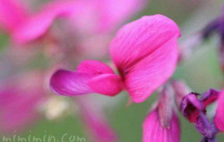 ハギの花の写真と花言葉