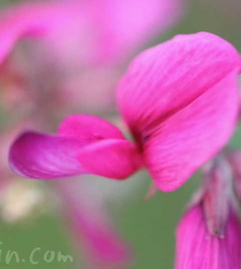 ハギ(萩)の花の写真・花言葉・名前の由来