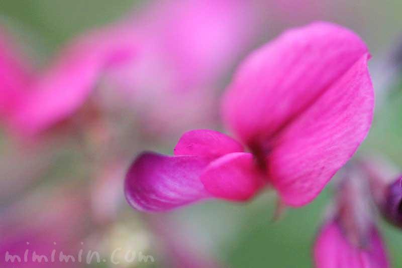 ハギの花の写真・花言葉の画像