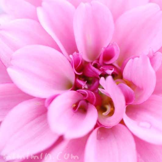ダリア(ピンク)の写真 花言葉